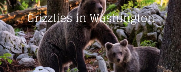 Grizzlies in Washington.jpg