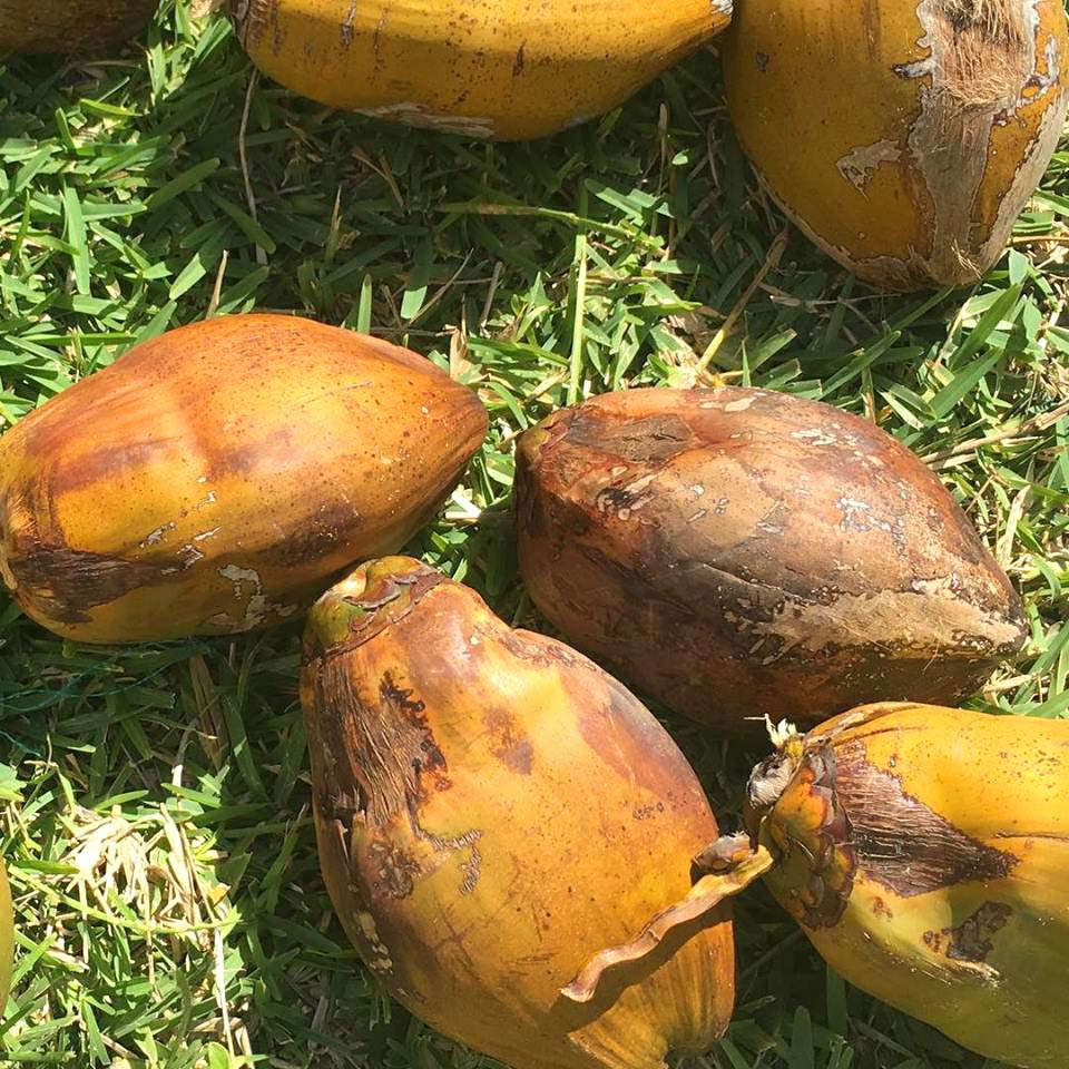 Coconut seedlings © Boa Gente