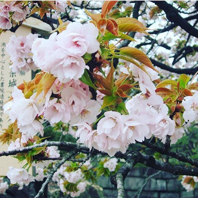Can't wait for the cherry blossoms! Once they come out it means Spring is here 🌸 this is my own photo from when I was in Japan. As you can tell, I'm really into flowers 😉