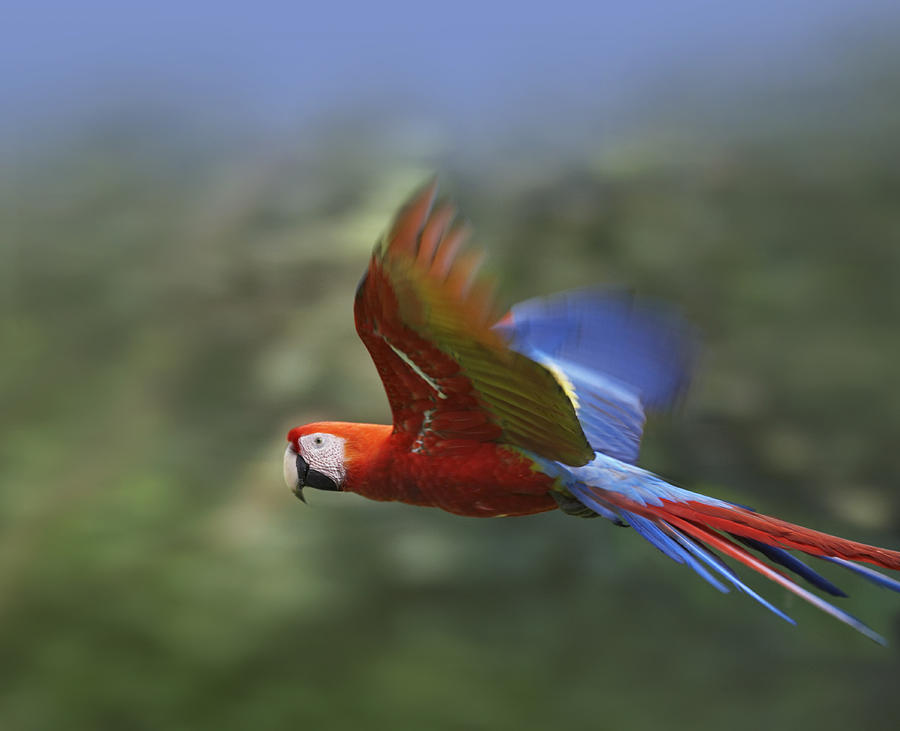 scarlet-macaw-flying-costa-rica-tim-fitzharris.jpg
