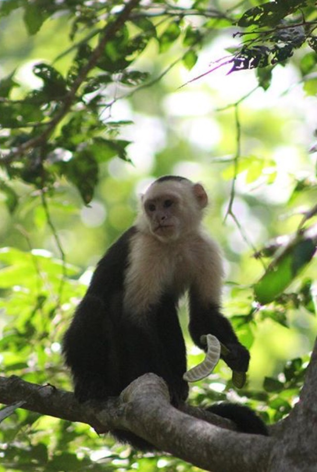 This Capuchin in town center looking for humans, doesn't appear affected