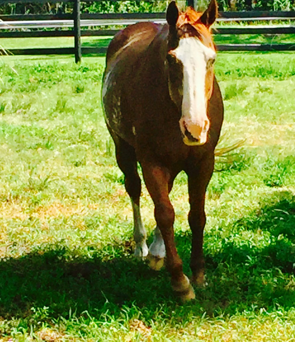 Zippy - The first rescue at Apache Rose, Zippy was surrendered by her former owner in June of 2017. She was under weight at intake, but was brought to a healthy weight and adopted to her forever home by November of 2017.APHA Registered19 Years Old15 HandsZippo Pine Bar Foal