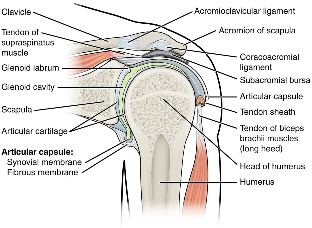 parts_of_shoulder_.jpg