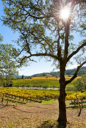 Sun shining through oak tree in the Sierra Foothills, with view of vineyard below.