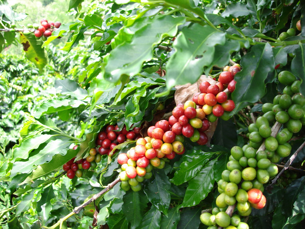 coffee_plantation_colombia-614.jpg