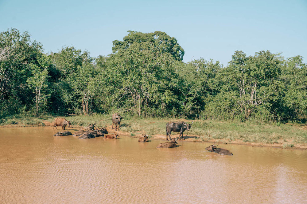 Water buffalo bathe in the marshes and lakes in Udawalawe to escape from the hot midday sun.