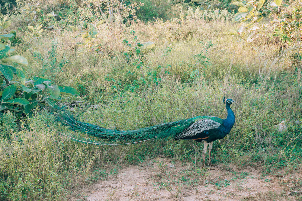 The peacocks and peahens on this safari made it feel entirely different from the safaris I'd been on in Africa.
