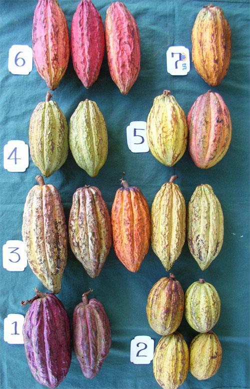 Image from  Chocolate Fiji . 1) Trinitario Amelonado 2) Forastero Amelonado 3) Trinitario Angoleta 4) Trinitario Cundeamor.