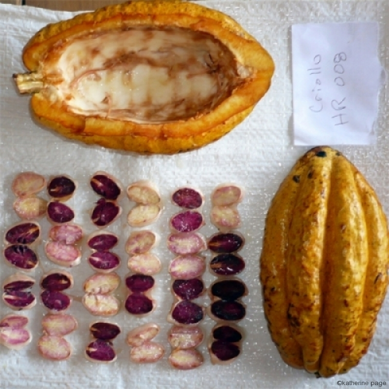 Image from  Maranon Cacao . Image of Nacional Cacao Pod and Seeds, with 40% white seeds.