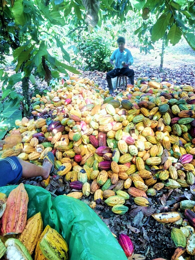 Image from  Ucayali River Cacao . Opening Cacao pods, one by one.