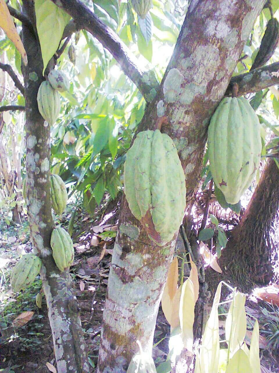 Cacao tree with pods growing in Philippines. © 2016 Geoseph.com