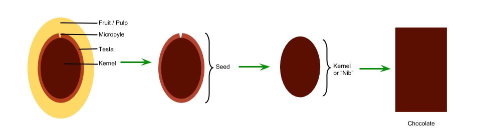 Figure 1: Seed with fruit, seed with testa, kernel or cocoa nib, and chocolate made from the nib.  The Micropyle is the tiny fissure that possibly allows the kernel to take in the aromas surrounding the testa.  (Illustrated by Geoseph Domenichiello)