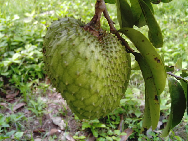 Soursop fruit (Annona muricata). Native to the Americas, but also grown in Tropical Asia where cacao is grown as well. (Image credit: Wikipedia)