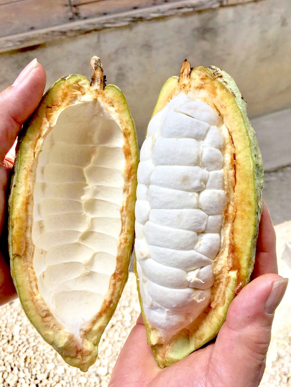 Fresh cacao pod, with segments of fruit (also known as pulp), each containing a cacao seed. (Image property of Geoseph Domenichiello)
