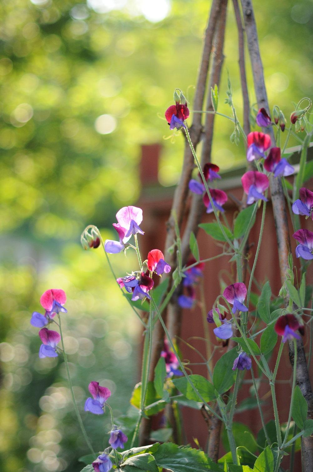 Blomplantor