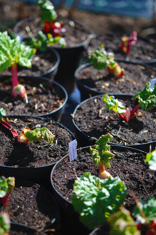 Rabarberplantor