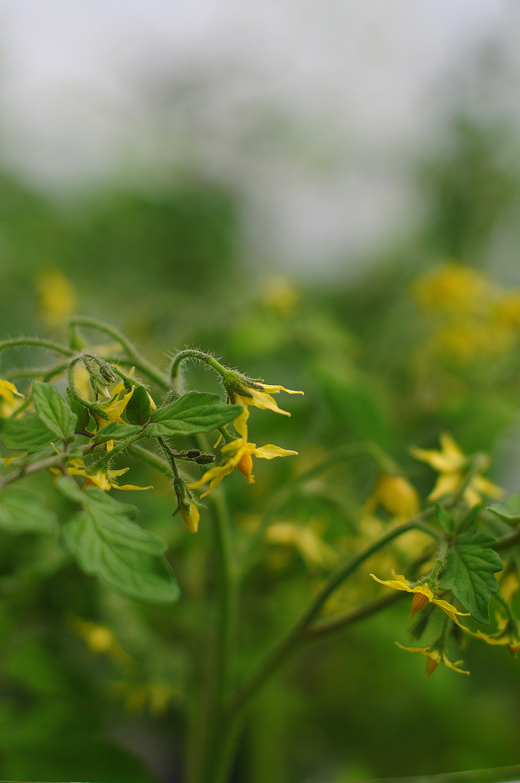 Eko tomatplantor