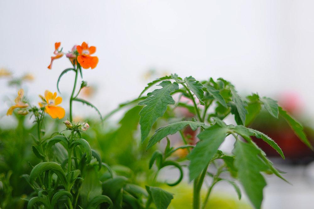 Nemesia och tomatplanta