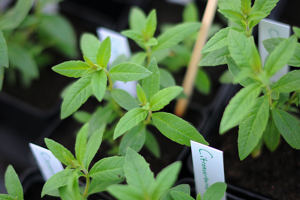 Plantor från plantskolan - Egenodlade och färdigplanterade plantor, (tomat, kryddor osv) perfekta att ge bort som gåva ♡