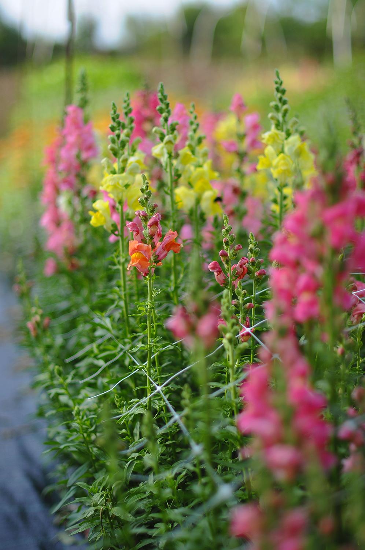 Snittblomsodling - Vi odlar obesprutade snittblommor till buntar & buketter