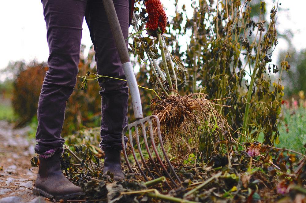 Man kan gräva upp knölarna och klippa av stjälkarna efteråt, det går precis lika bra. Såhär ser det ut när man har lirkat upp knölarna ur jorden. Ibland är de packade med jord, ibland inte.