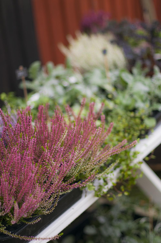 höstplantor till höstplanteringar