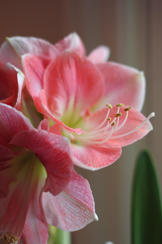 Storblommig rosa
