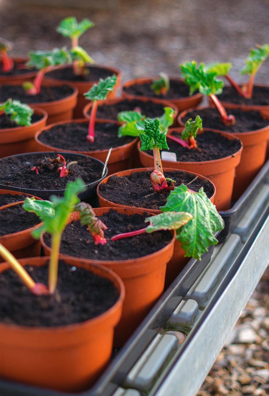 Rabarberplantor från vår plantskola