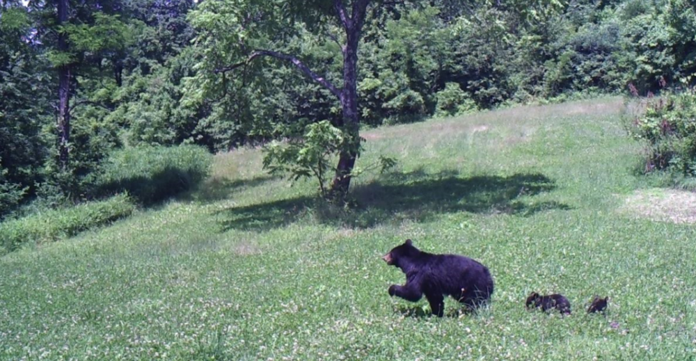 Mama Bear with two cubs, dancing through the spring clover. In the back center is a relatively rare butternut tree, a cousin of the black walnut.