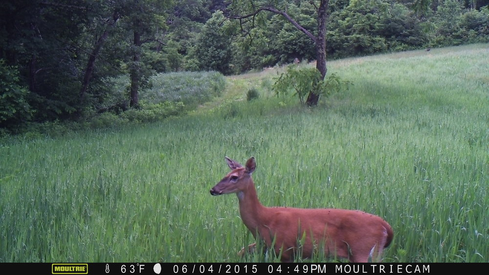 A whitetail doe in spring oats.