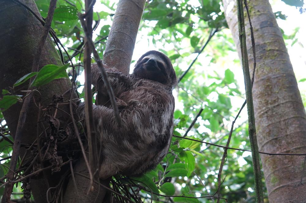 Perezoso -- Sloth