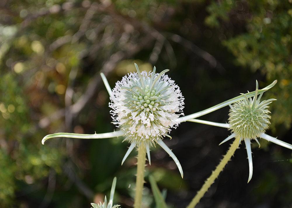 thistleflower.jpg