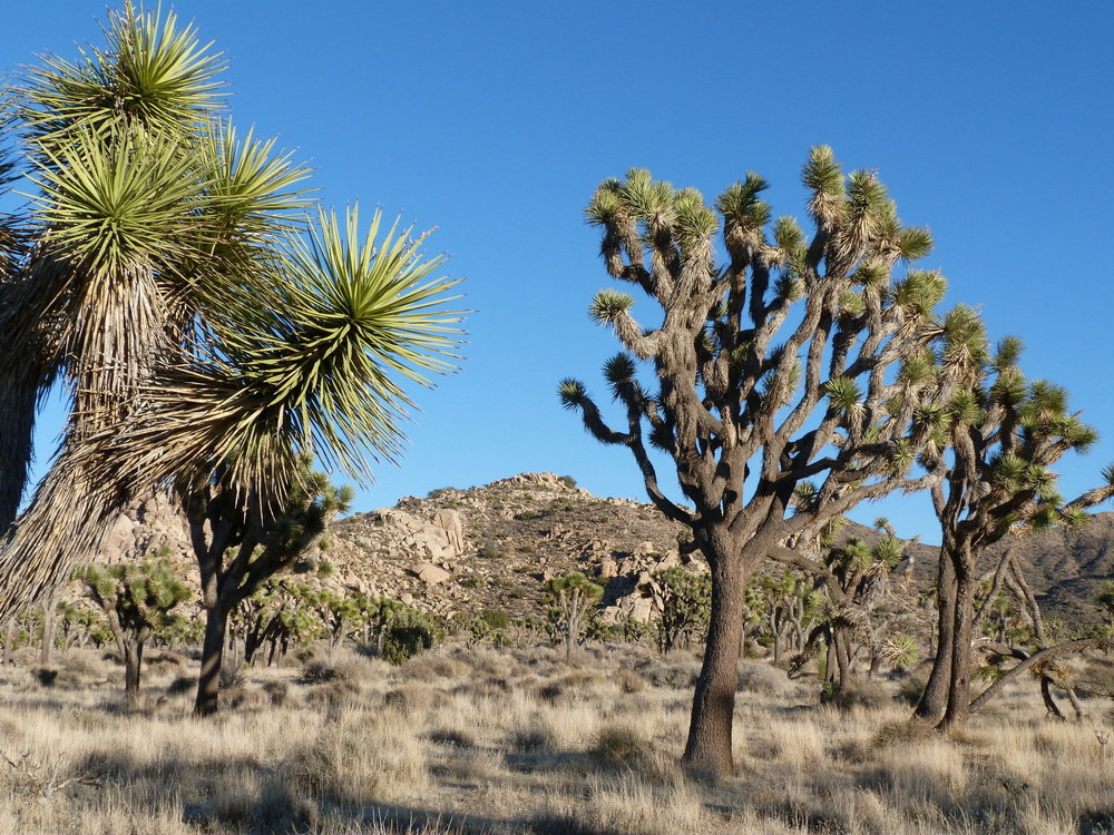 PEAK: Joshua Tree - DIFFICULTY: 3/5SCENERY: Wildflowers, Joshua Trees, Sunset, Cool Rock Formations, Stars!!FUN FACT: Joshua Tree Park lies at an ecological crossroads where the high Mojave Dessert meets the low Colorado Dessert.