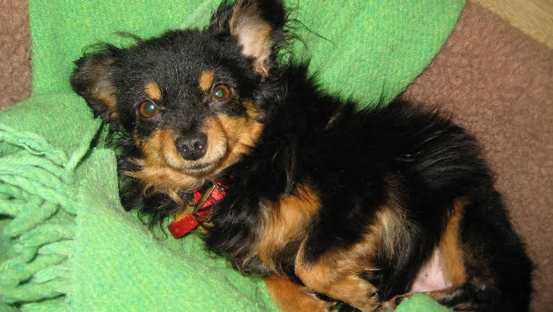 Porter - Porter is a 12-year-old long haired chihuahua-pomeranian mix. He's such a sweetheart and quite the heartbreaker!