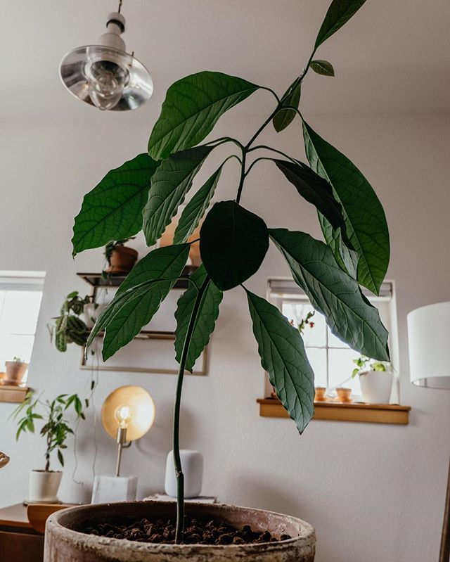 Ever wanted to try your hand at growing your own avocado tree from the organic avocado from Whole Foods? You're in luck. Check out my blog to learn how. 🥑🌱 • #houseplants #avocado #avocadoplant #growing #plants #plantsofinstagram #indoorplants #menswear #mensfashion #instagood #blog #blogger #liveauthentic #instaphoto #instafashion #ootd #outfitoftheday #fashion #instadaily #love #menstyle #fbloggers #dapper #gentleman #colorado #denverblogger #denver #instacool #hair #mensgrooming