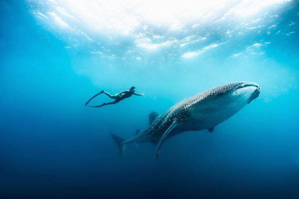 WhaleSharkHighRes.jpg