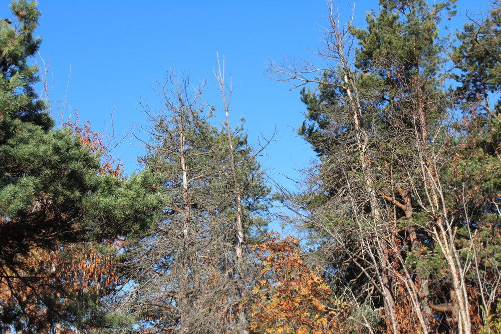 Skogsdød. Her ses flere døde furuer fra tørken og varmen i juli 2014. Rundt ses andre trær rammet av årets sommervær