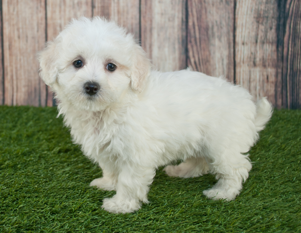 Maltpoo Puppy