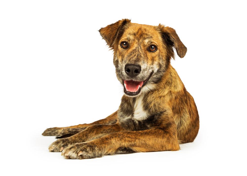 Plott Hound Dog