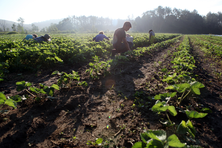 strawberry picking 3.jpg