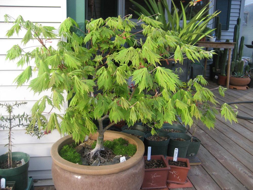Acer jap 'Aconitifolium'.JPG