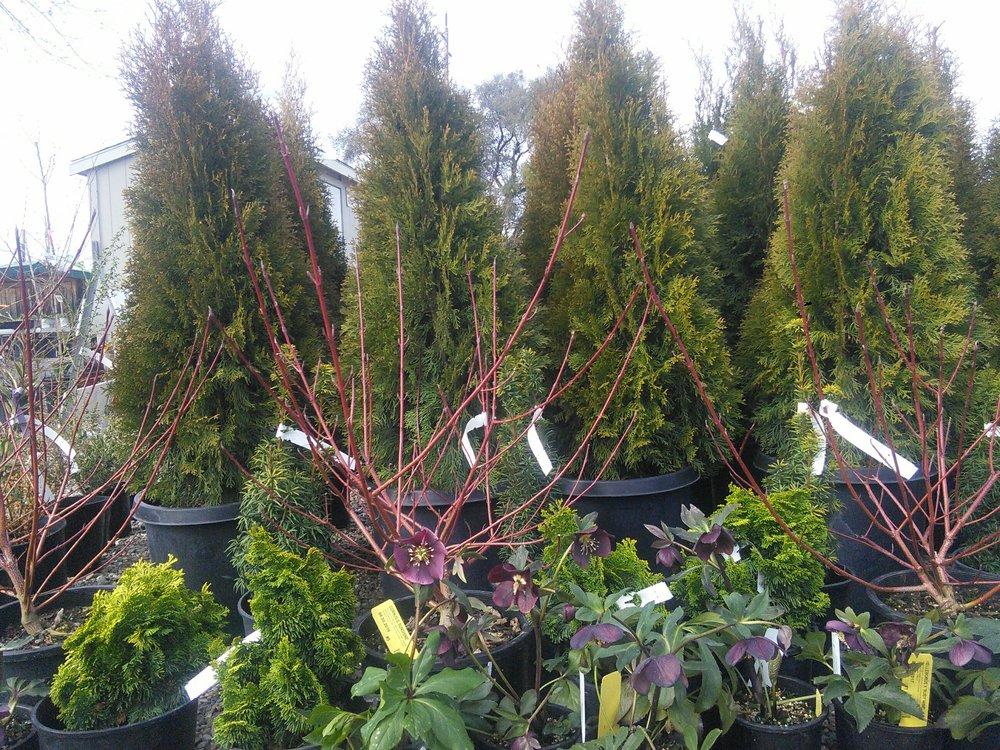 From back to front, Thuja o. 'Emerald Green', Taxus b. 'Standishii', Cornus s. 'Sunshine', Chamaecyparis o. 'Nana Lutea', and Helleborus x 'Ruby Wine'