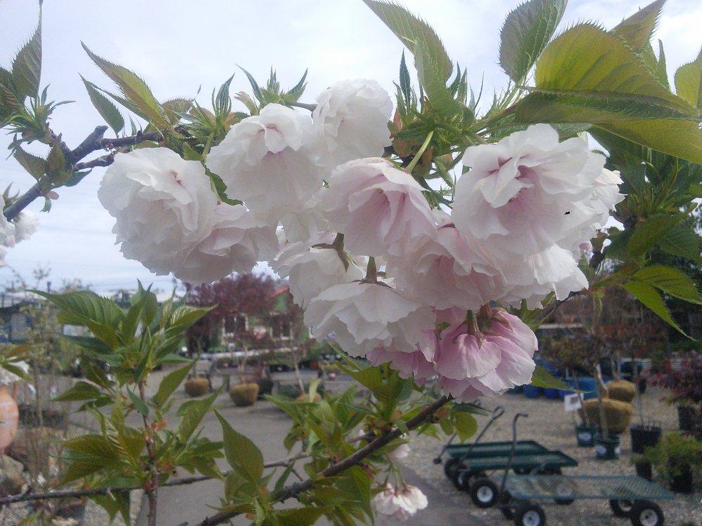 Prunus serrulata 'Mt. Fuji'