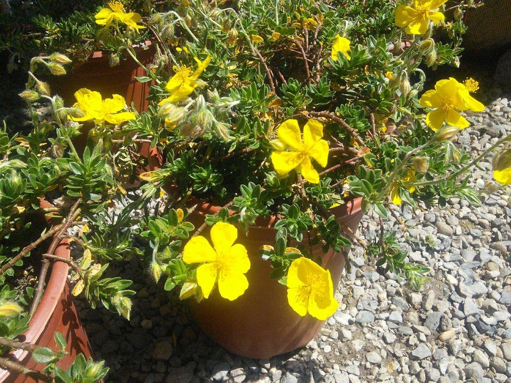 Helianthemum 'Single Yellow'