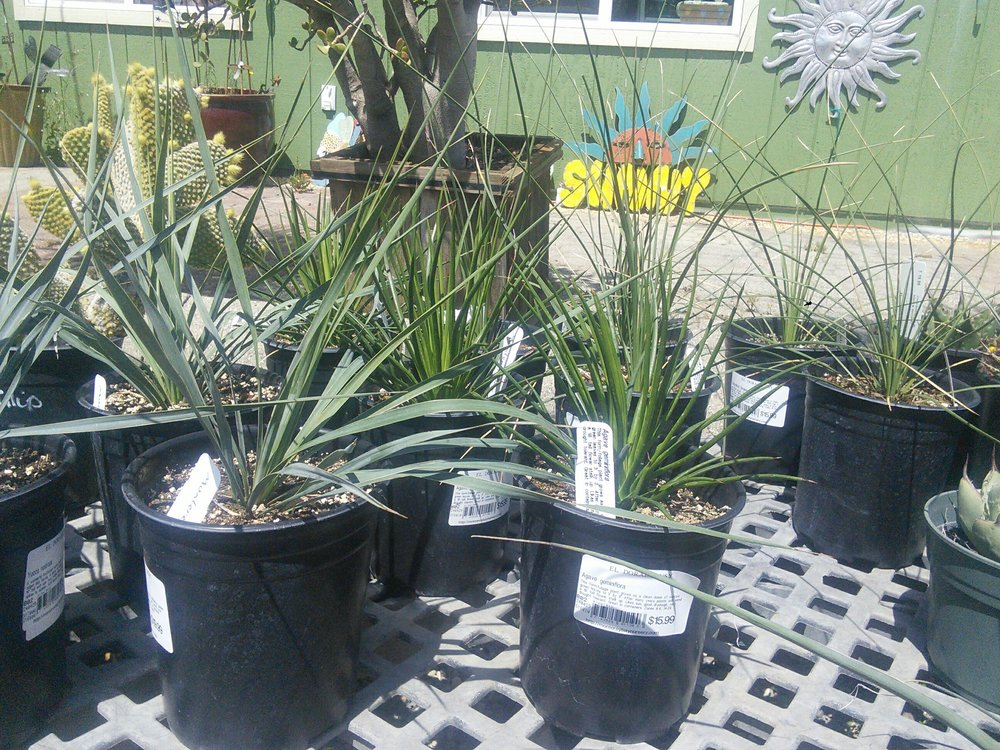 Agave, Hesperaloe, Yucca and Dasylirion