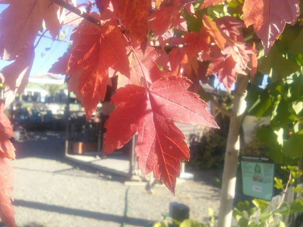 Acer 'Red Point'