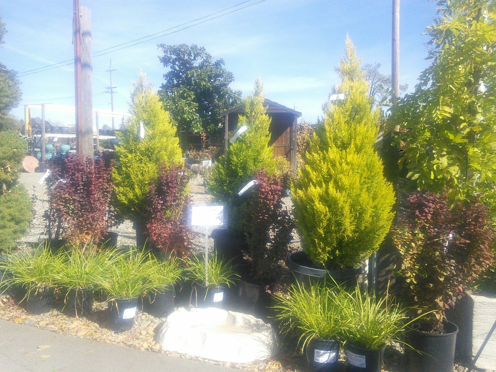 Cupressus 'Goldcrest' and Berberis 'Orange Rocket'