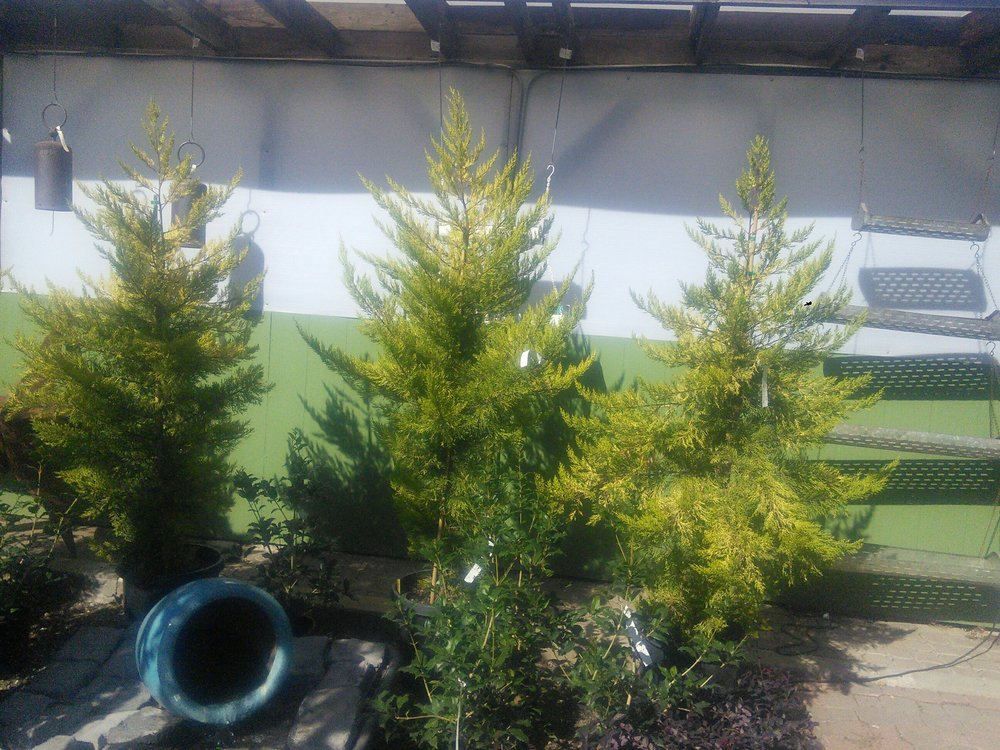 Cupressus 'Golden Pillar'