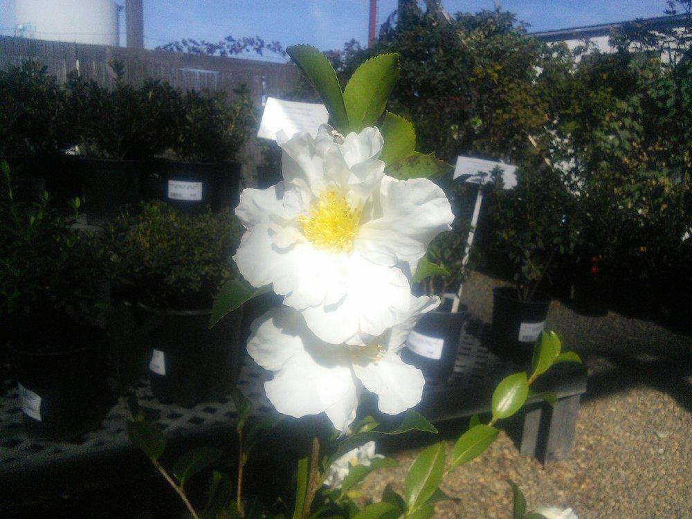 Camellia 'Setsugekka'