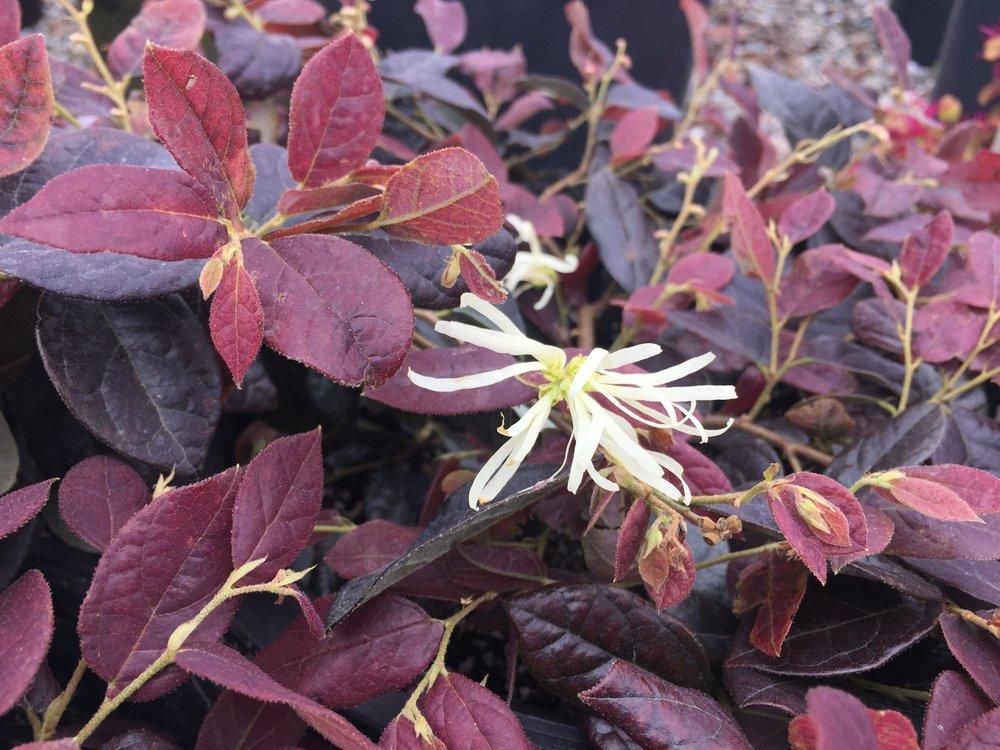 Loropetalum chinensis Ruby Snow